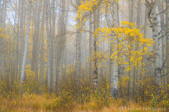 aspen, grove, fog, clearing, uncompahgre, national forest, colorado, Uncompahgre National Forest