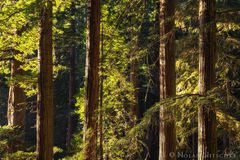redwood, redwoods, del norte coast, state park, california, light, forest, beams