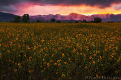 sunflower, sunset, owens valley, flower, mountains, , eastern sierra, california