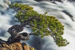 bonsai, lake, tahoe, south, california, creek, rushing, tree