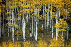 aspen, color, hillside, fall, uncompahgre, national forest, colorado, Uncompahgre National Forest