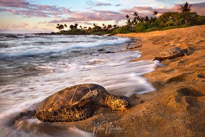 hawaii, sea turtle, sea, turtle, beach, big, island