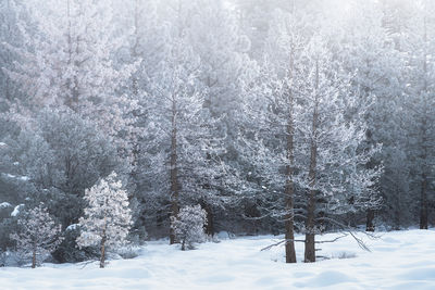 mammoth lakes, california, winter, poconip, hoar, frost, forest, ice