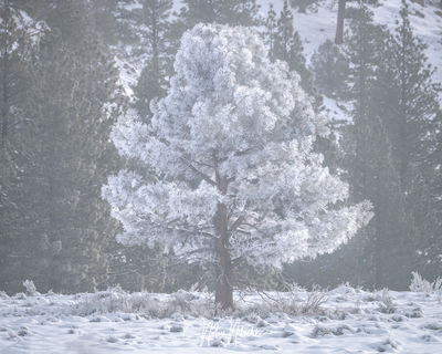 mammoth lakes, california, winter, freezing, fog, poconip, hoar, pine, tree