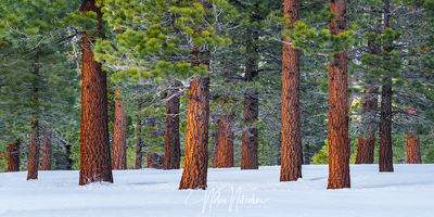 mammoth lakes, california, winter, jefferey, pine, forest, snow