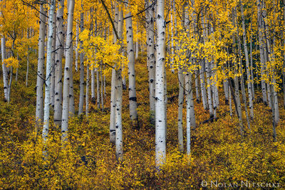uncompahgre, national forest, aspen, stand, colorado, Uncompahgre National Forest