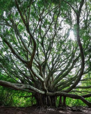 hawaii, haleakala, national, park, maui, banyan, tree, sky