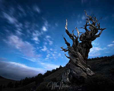 white mountains, inyo national forest, california, ancient, bristlecone, pine, moonlight, night