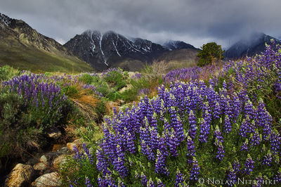 eastern sierra, california, owens valley, division creek, lupine, storm