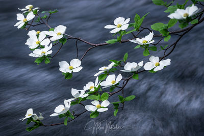 yosemite, national park, california, dogwood, tree, flower, merced, river, delicate, sierra, sierra nevada,