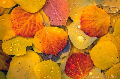 aspen, leaves, color, droplets, rain, storm, uncompahgre, national forest, colorado, Uncompahgre National Forest