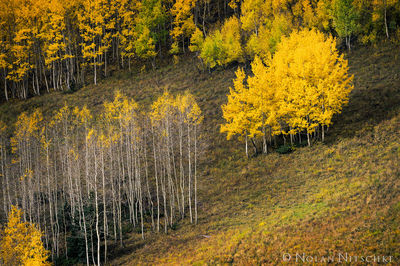 aspen, hillside, lonely, trees, uncompahgre, national forest, , colorado, Uncompahgre National Forest