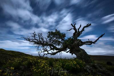 The Mauna Kea Tree