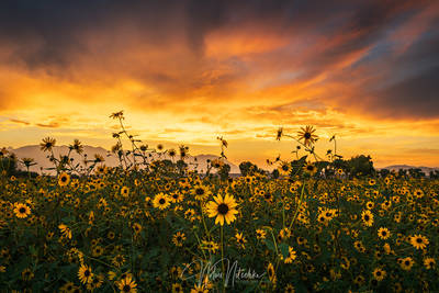 sierra, sunflower, sunset, owens valley, california