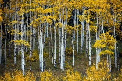 aspen, color, hillside, fall, uncompahgre, national forest, colorado, Uncompahgre National Forest