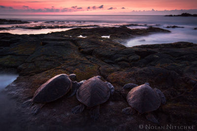 big island, hawaii, honu, ohana, sea turtle, sunset
