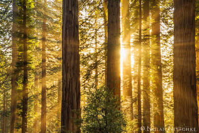 Redwoods Aglow