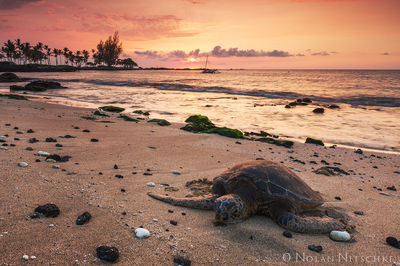sea, turtle, green, big island, sunset, beach, hawaii