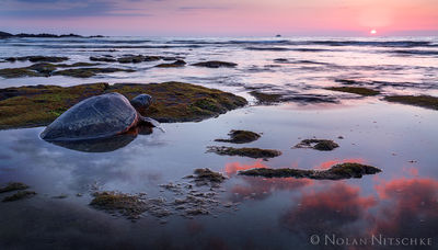 big island, hawaii, sea turtle, sunset