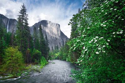 yosemite, national park, california, el capitan, dogwood, tree, flower, cloud, merced river, light, sierra nevada