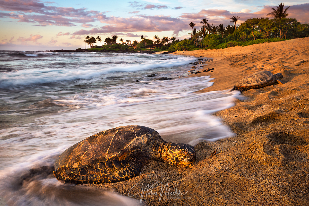Sea Turtles relaxing on the beach.