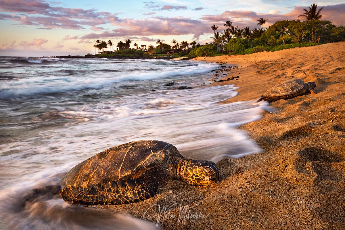 hawaii, sea turtle, sea, turtle, beach, big, island, photo