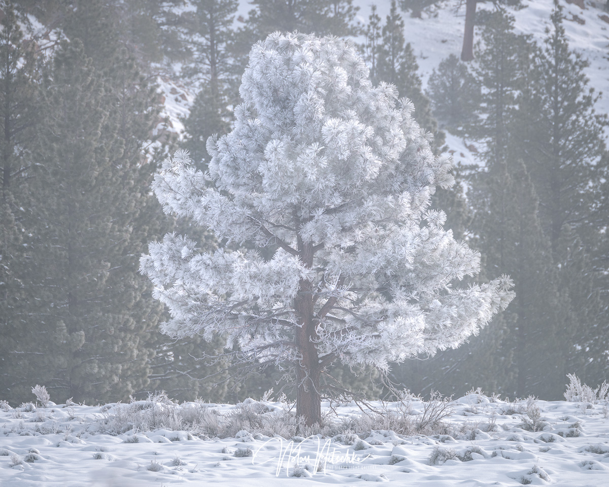 mammoth lakes, california, winter, freezing, fog, poconip, hoar, pine, tree, photo