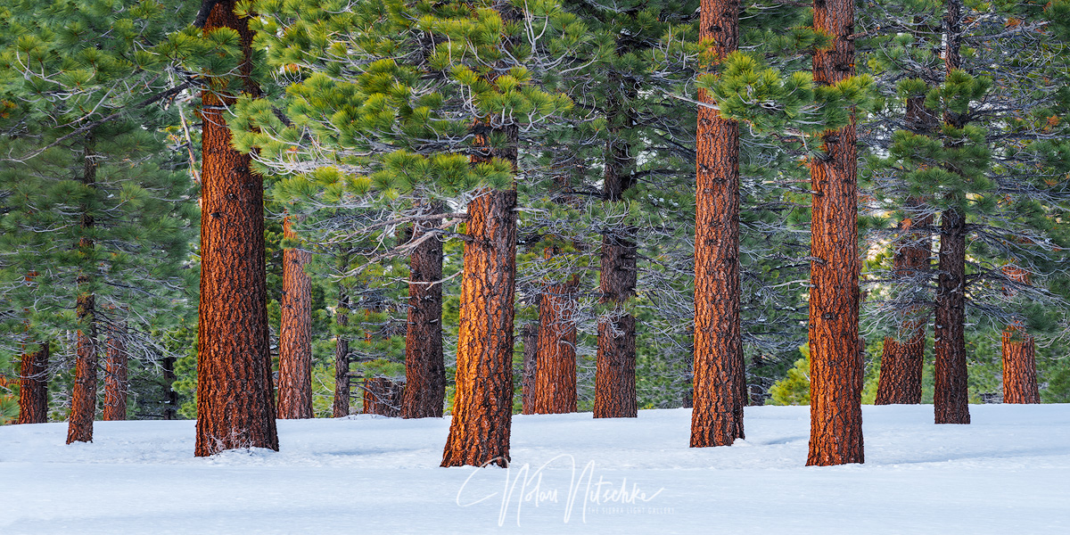 Jefferey Pine trees emerging from a thick layer of snow.