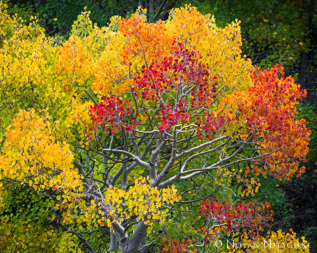 The full spectrum of fall colors on a single aspen tree.