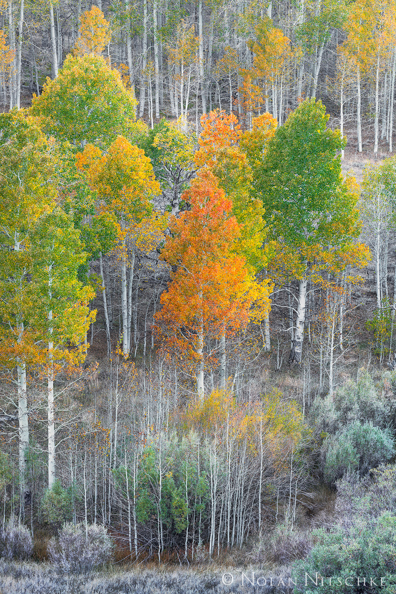 Aspen trees and willows starting their fall transition on Conway Summit.