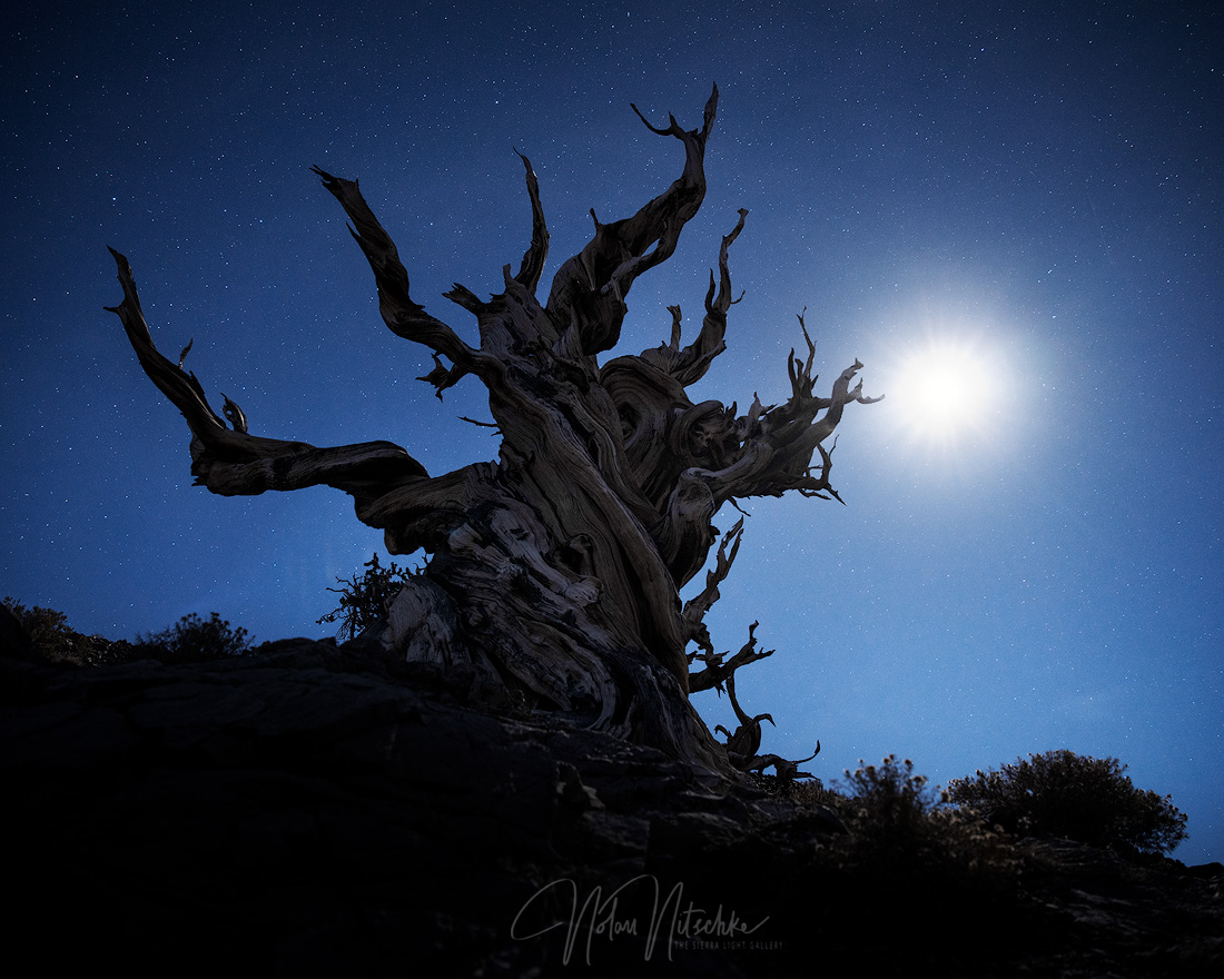 white mountains, inyo national forest, california, ancient, bristlecone, pine, moon, photo