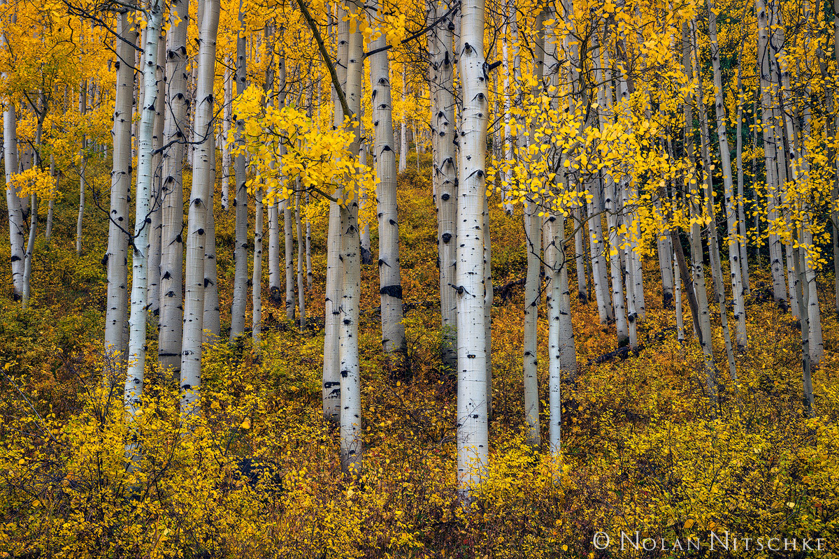 uncompahgre, national forest, aspen, stand, colorado, Uncompahgre National Forest, photo