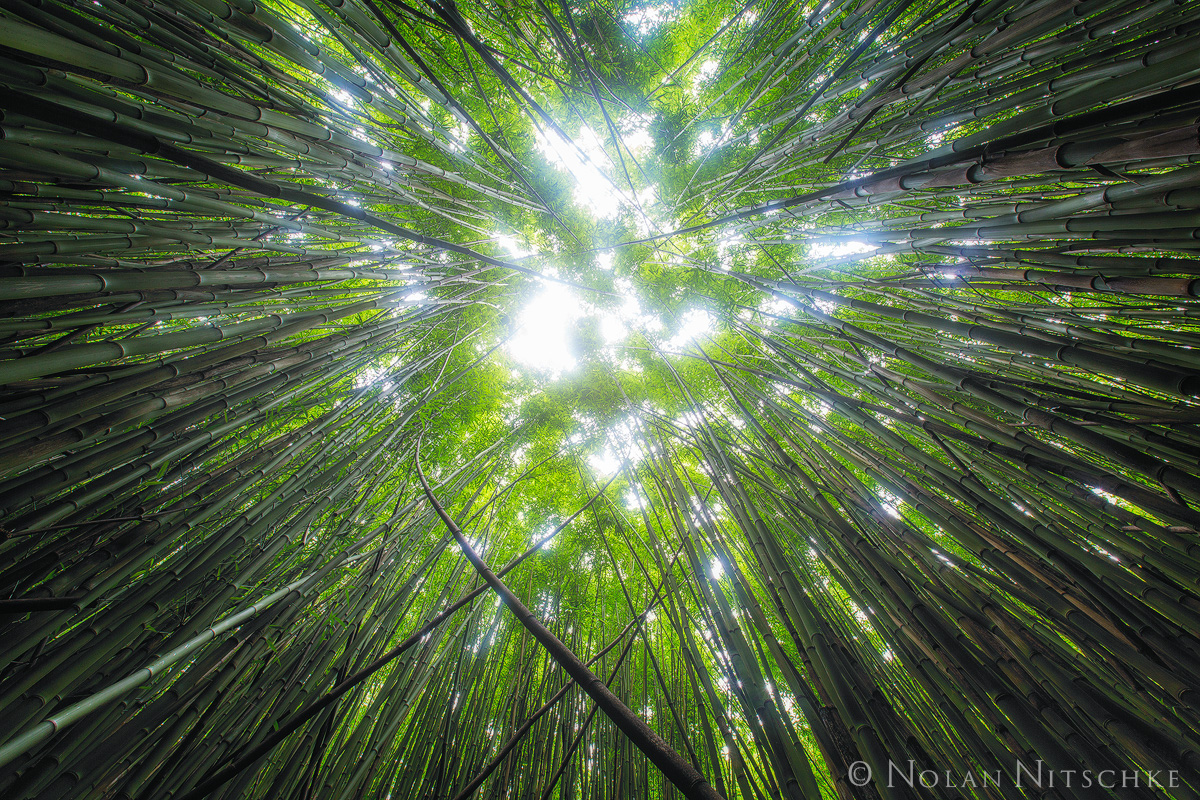 bamboo, forest, up, heleakala, national park, maui, photo