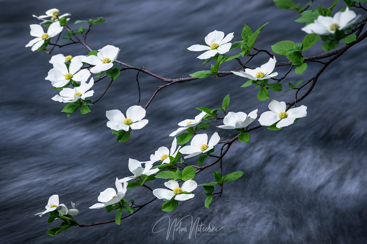 The delicate flowers of the Dogwood tree laying along the Merced River in Yosemite Naitional Park.