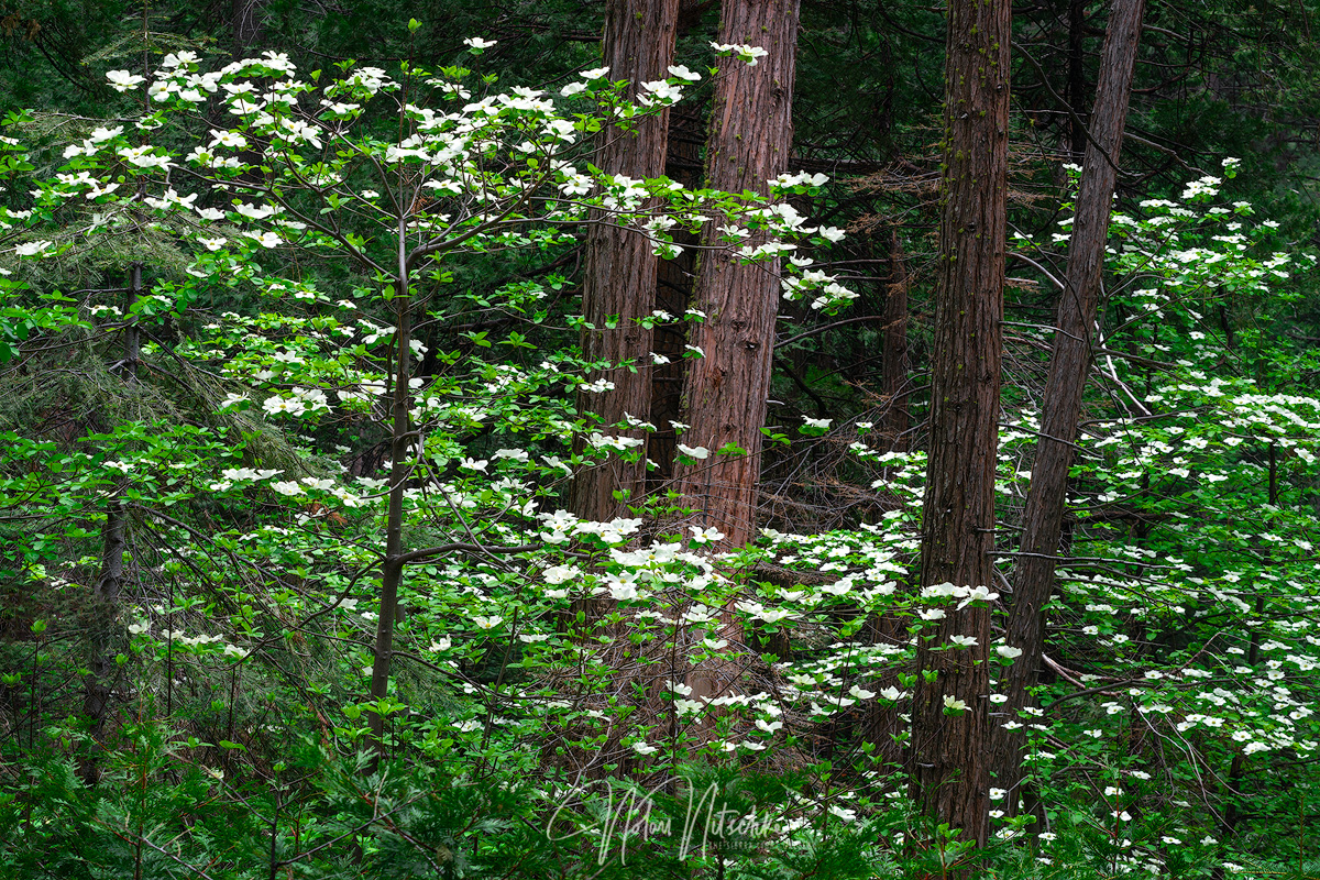 Dogwood trees in full bloom in the Yosemite forests of the Sierra Nevada.