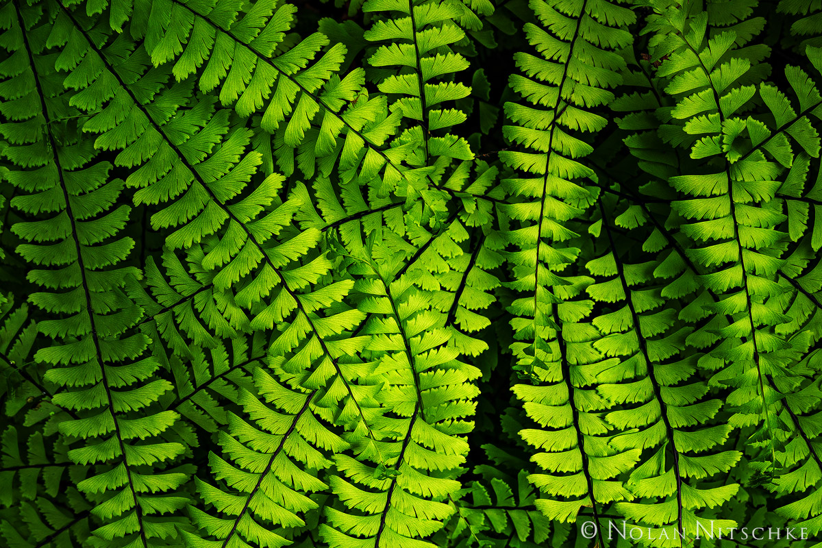 oregon, columbia river gorge, fern, , photo