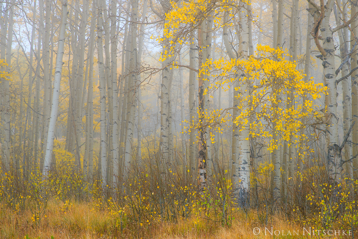 aspen, grove, fog, clearing, uncompahgre, national forest, colorado, Uncompahgre National Forest, photo