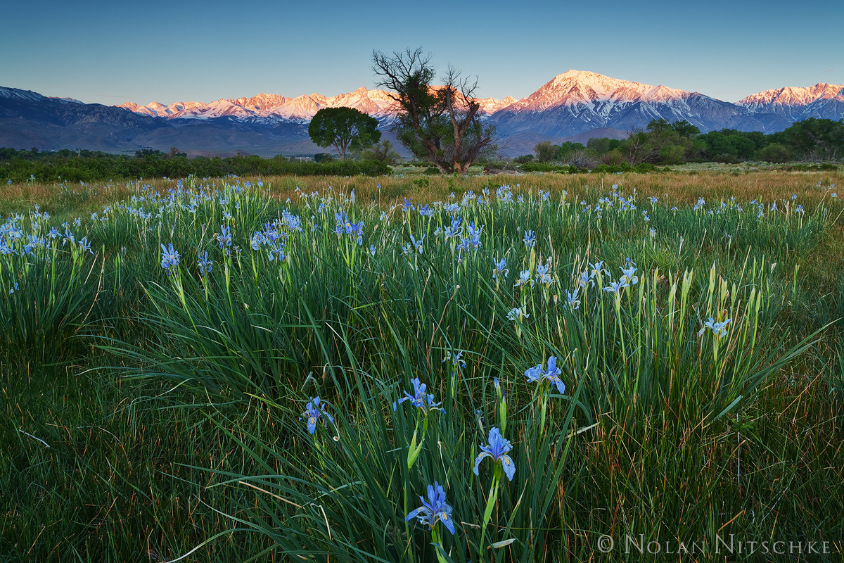 iris, bloom, bishop, sunrise, owens valley, eastern sierra, california, photo