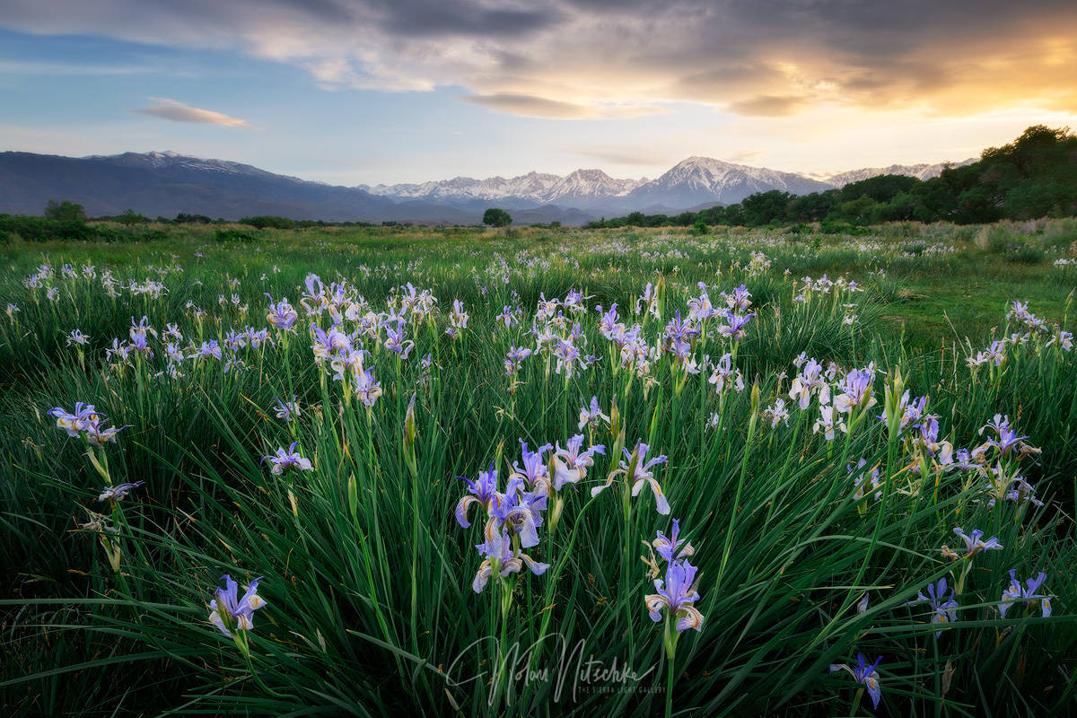 Wild iris under the Eastern Sierra Nevada mountains at sunset.