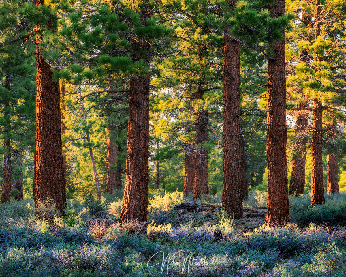 Jefferey Pine Trees catching the last light of the day in spring around Mammoth Lakes.