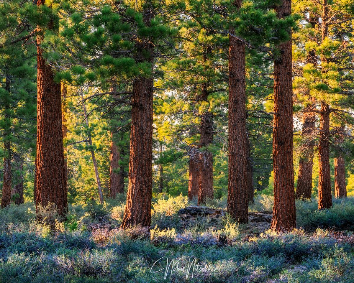 mammoth, lakes, california, forest, tree, pine, jefferey, light, eastern sierra, sierra, sierra nevada, photo