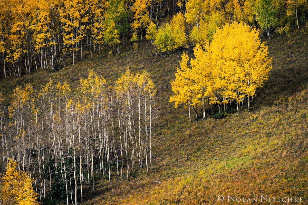 aspen, hillside, lonely, trees, uncompahgre, national forest, , colorado, Uncompahgre National Forest, photo