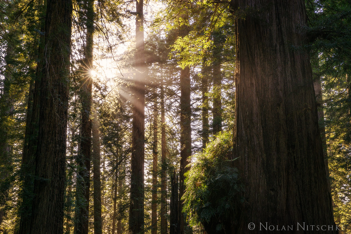 redwood, redwoods, del norte coast, state park, california, light, forest, beams, photo