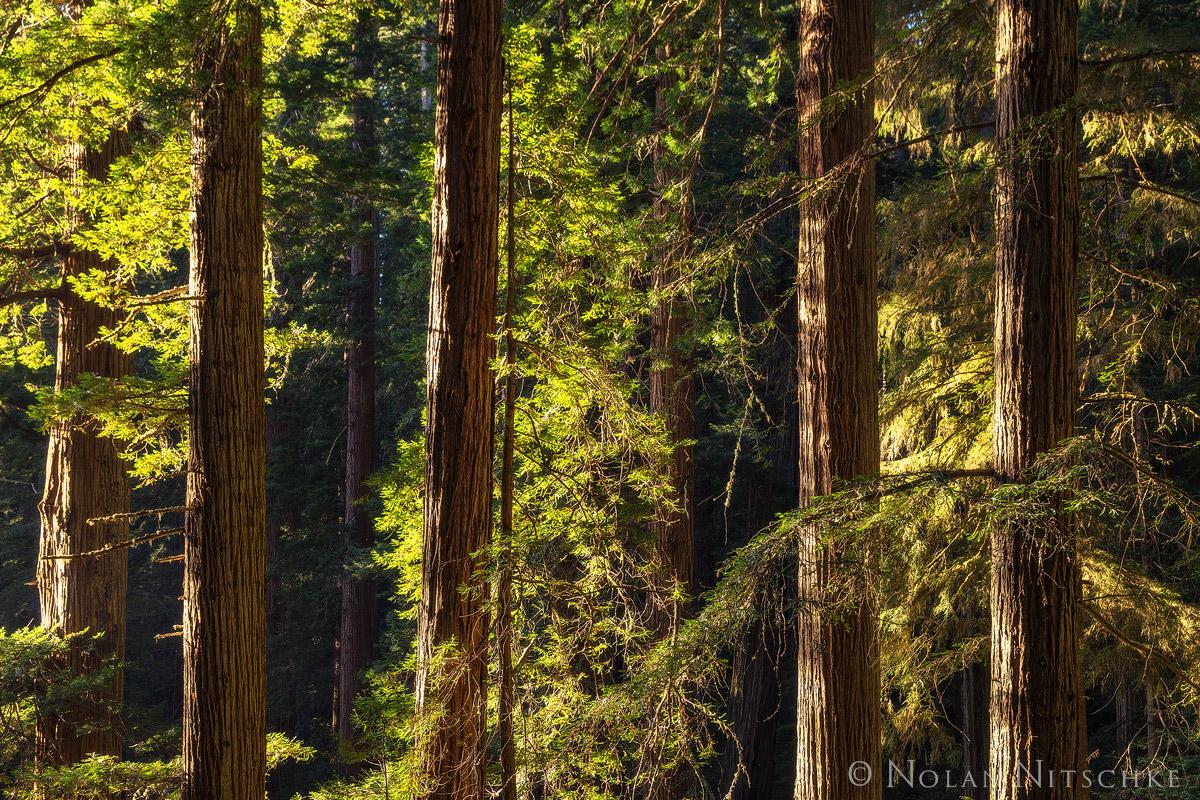 redwood, redwoods, del norte coast, state park, california, light, forest, beams, photo