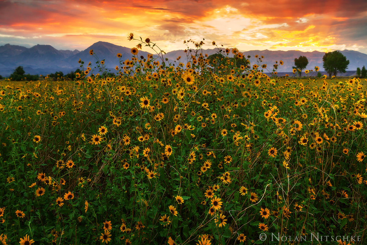 sun, flowers, sunflowers, owens valley, sunset, mountains, eastern sierra, california, photo