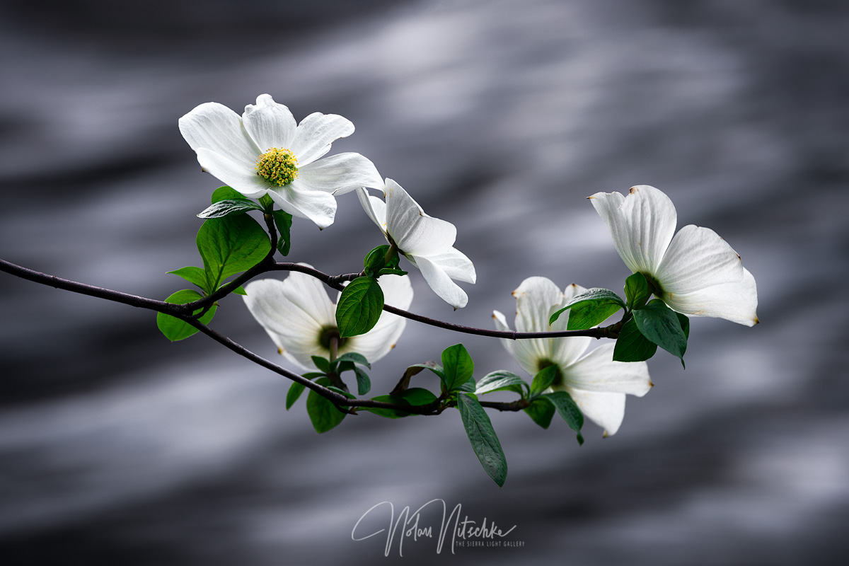 yosemite, national park, california, dogwood, flower, merced, river, sierra, sierra nevada, spring, flow, photo