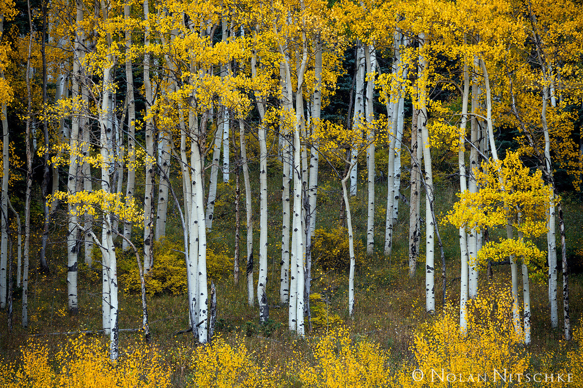 A stand of aspens on a hillside at peak fall color.