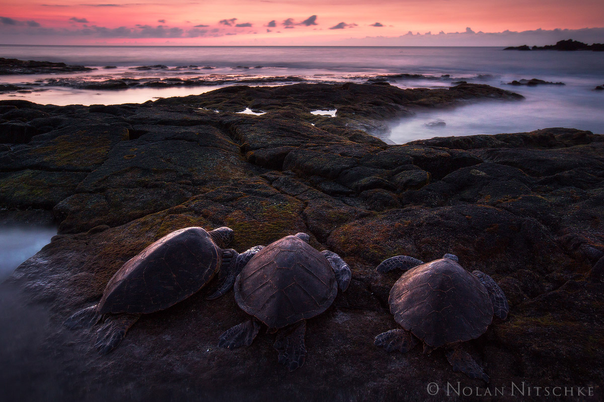 big island, hawaii, honu, ohana, sea turtle, sunset, photo