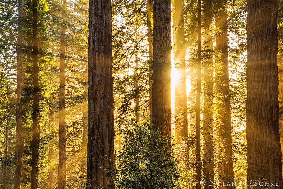 The sun sets down on the coast creating amazing orange light rays that pierce through the fog in the Redwood Forest.