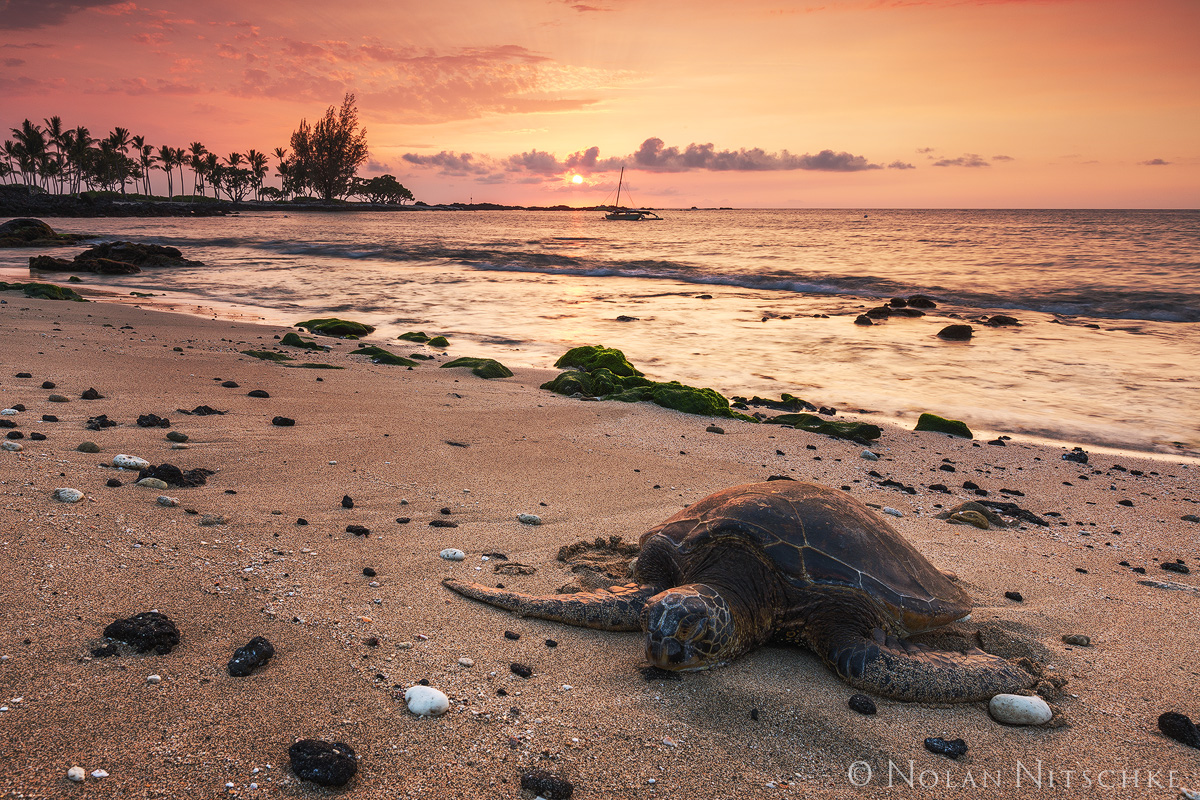 sea, turtle, green, big island, sunset, beach, hawaii, photo